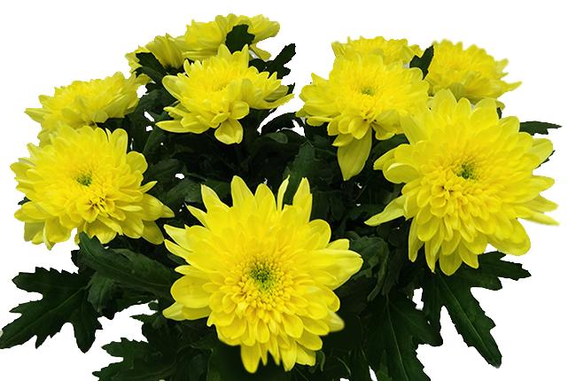 Хризантема Зембла Желтая одноголовая
