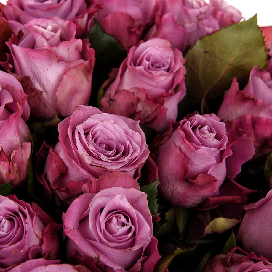 Розы сиреневые