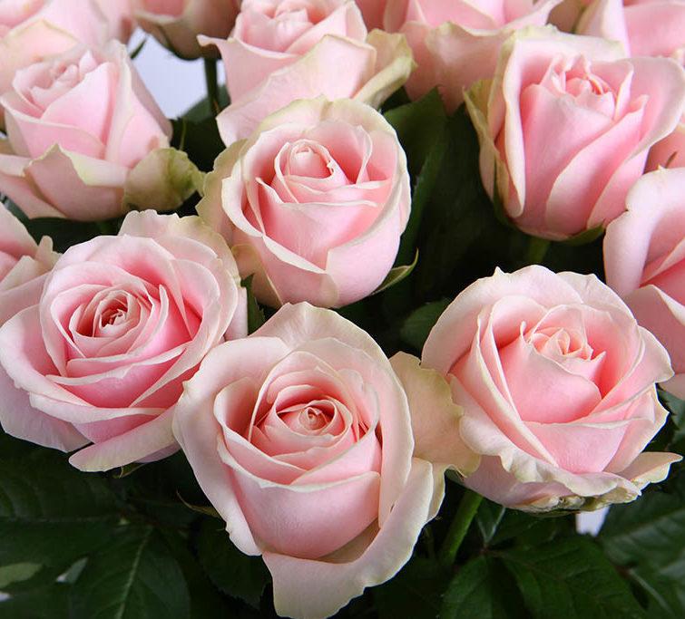 Розы светлорозовые